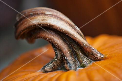 A stem of a pumpkin (detail)