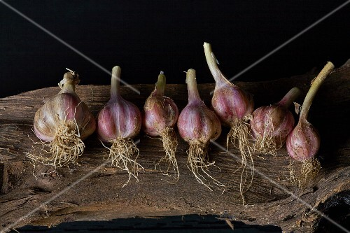 A row of garlic bulbs on a piece of driftwood