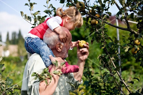 A grandfather carrying his granddaughter on his shoulders and picking apples from a tree