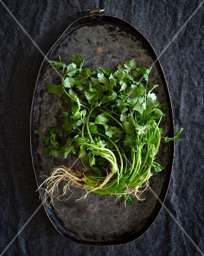 Fresh coriander with roots on a metal tray (seen from above)