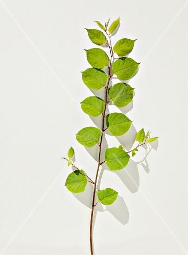 Japanese knotweed on white surface