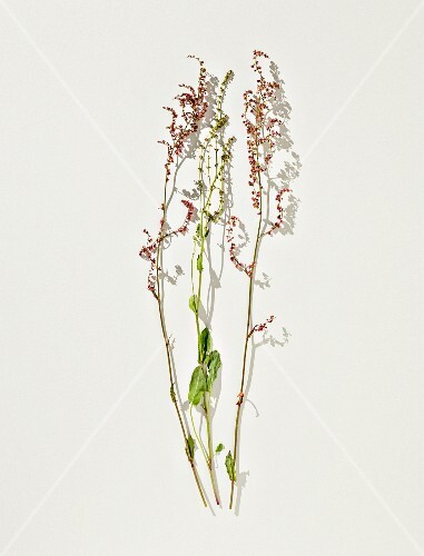 Meadow sorrel on a white surface