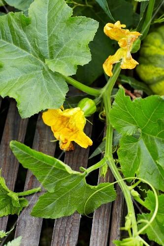 Pumpkin Vine in Garden