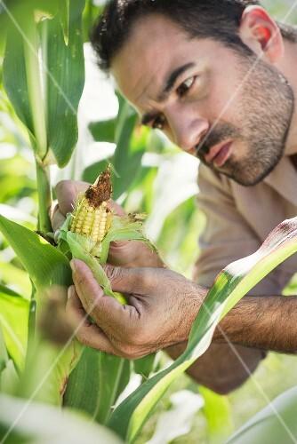 A farmer inspecting corn in a field