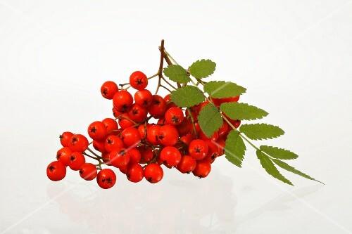 Rowan berries against a white background