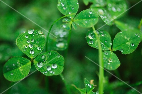 Clover with droplets of water