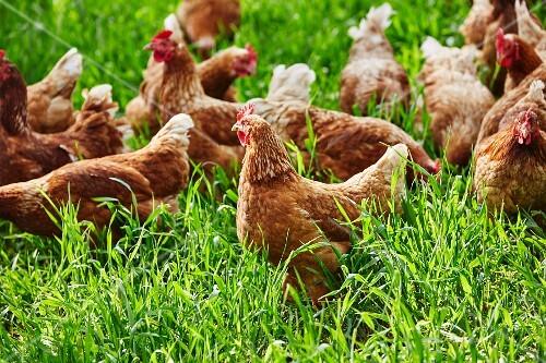 Free-range organic chickens