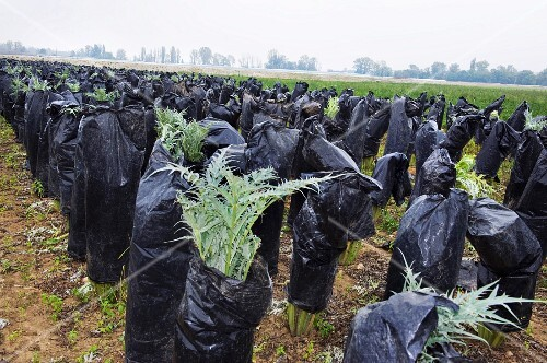 Cardoon (artichoke thistles) being blanched under plastic foil in a field