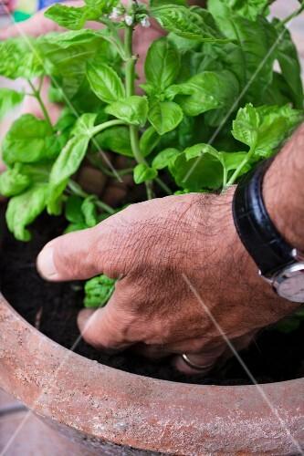 Hands holding basil in a flowerpot