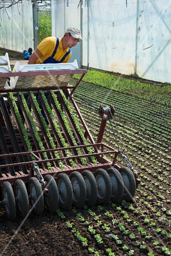 Lamb's lettuce being mechanically planted