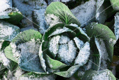 Savoy cabbage in the snow
