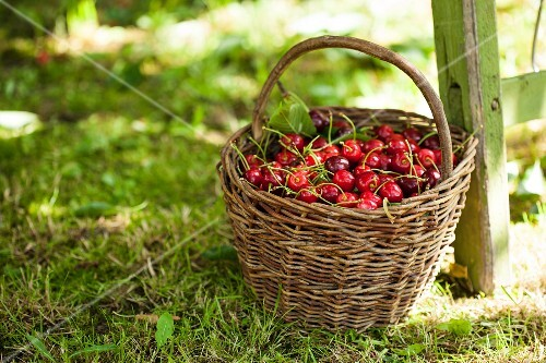 Freshly picked cherries in a basket on a lawn