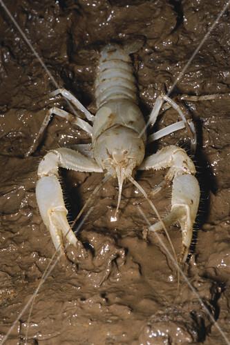 Cave Crayfish