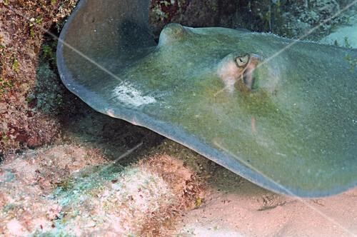 Southern Stingray (Dasyatis Americana)