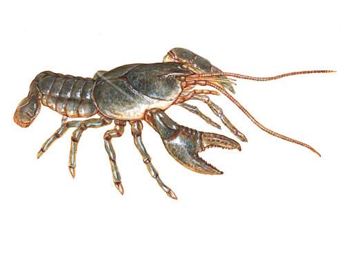 Crayfish,Illustration
