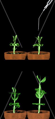 Plant Treated With Gibberellic Acid