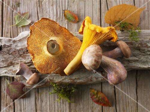 Freshly picked chanterelle mushrooms, hedgehog mushrooms and Pied Bleu mushrooms on a piece of wood