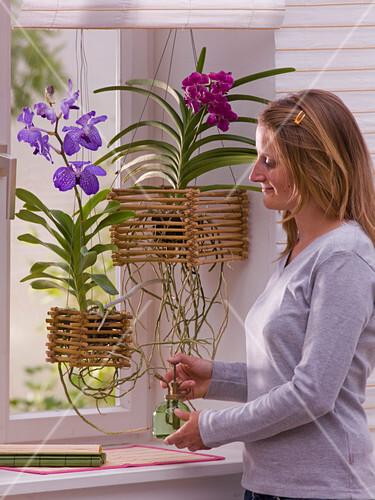 Vanda Orchideen In Selbstgebautem Bild Kaufen 12154944