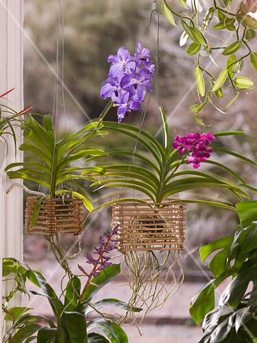 Vanda Orchideen In Selbstgebautem Bild Kaufen 12154986