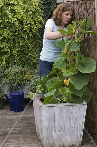 Außergewöhnlich Kürbis in Kübel mit Rankhilfe pflanzen … – Bild kaufen - 12157778 &BZ_99