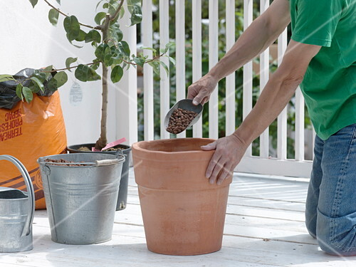 Birnbaum In Terracotta Kubel Umpflanzen 1 4 Bild Kaufen