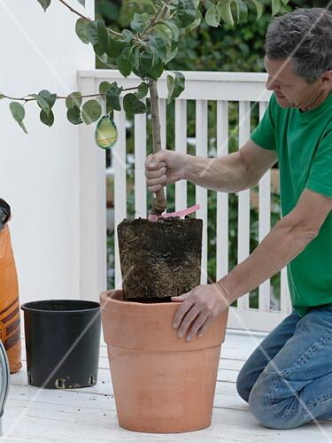 Birnbaum In Terracotta Kubel Bild Kaufen 12158782