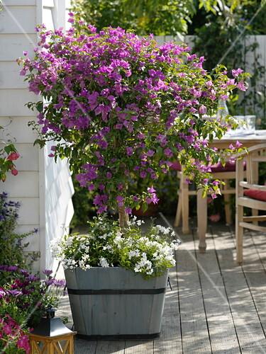 bougainvillea unterpflanzt mit solanum jasminoides jasmin nachtschatten bild kaufen. Black Bedroom Furniture Sets. Home Design Ideas