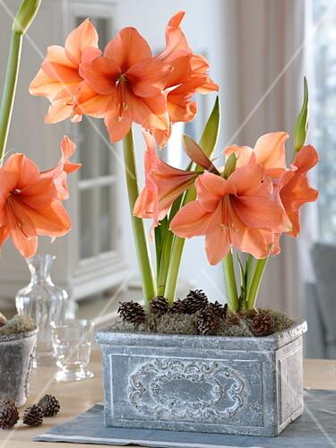 amaryllis einpflanzen