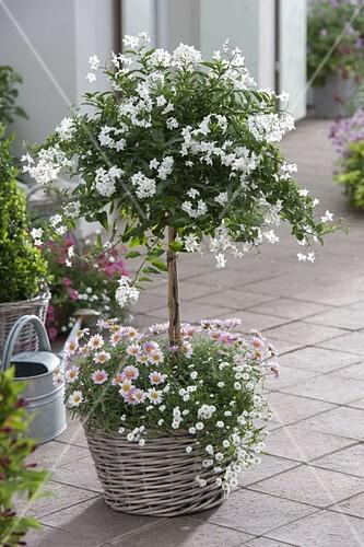 solanum jasminoides jasmin nachtschatten im korb unterpflanze mit achillea bild kaufen. Black Bedroom Furniture Sets. Home Design Ideas