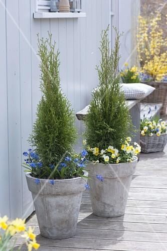 hohe graue k bel bepflanzt mit thuja occidentalis smaragd lebensbaum bild kaufen. Black Bedroom Furniture Sets. Home Design Ideas