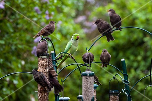 Ring-necked parakeet and starlings on bird feeders