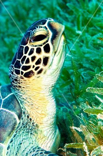 Green turtle feeding