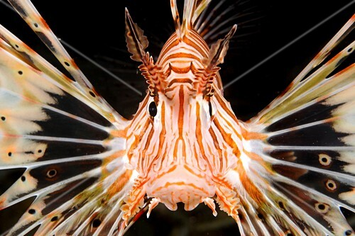 Radial lionfish