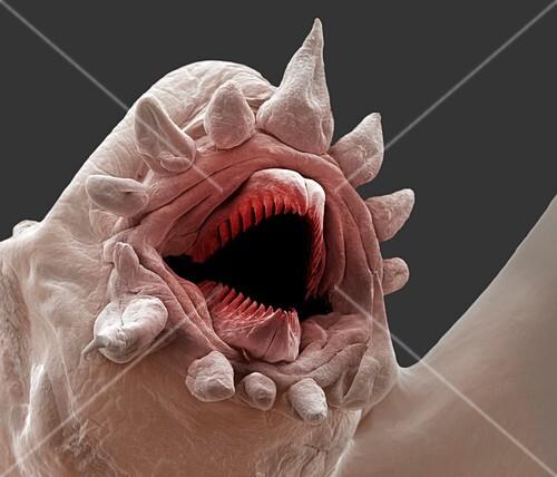 Deep ocean scale worm,SEM