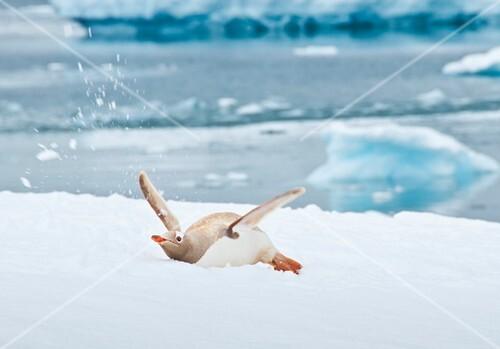 Leucistic gentoo penguin