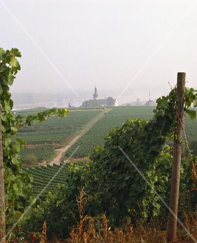 The Hipping Einzellage near Nierstein am Rhein, Rheinhessen