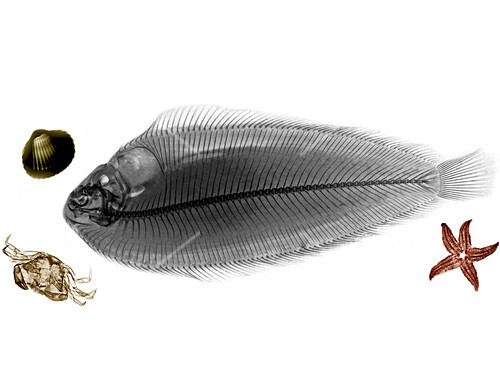 Sole fish,X-ray