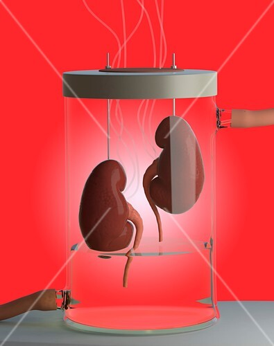 Spare kidneys,conceptual image
