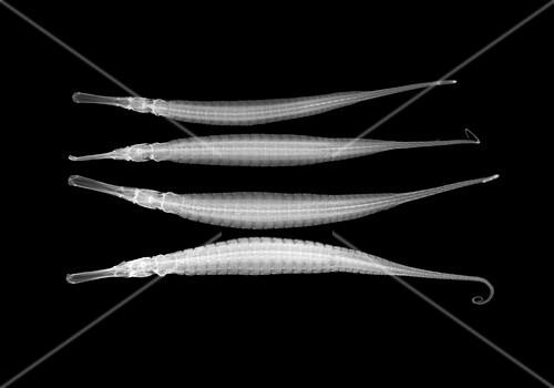 Alligator pipefish,X-ray