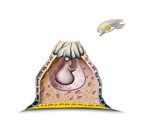 Acorn barnacle anatomy,illustration