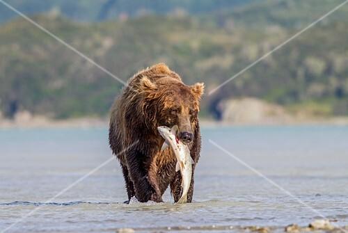 Brown bear with salmon,Alaska,USA