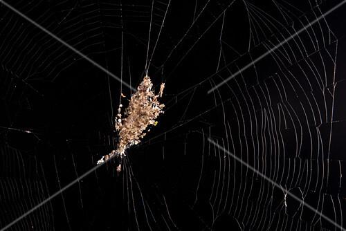 Web debris spider