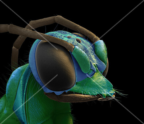 Emerald cockroach wasp head, SEM