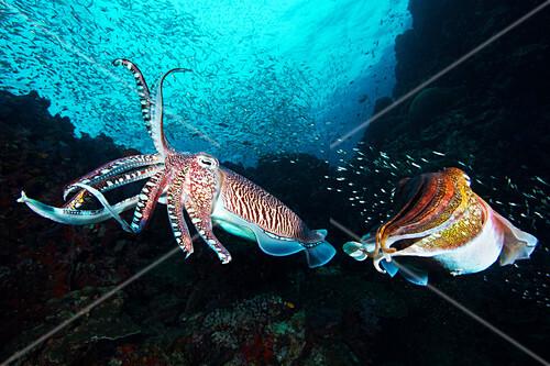 Pharaoh cuttlefish, Richelieu Rock, Thailand