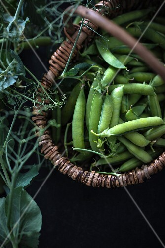 Freshly picked peapods in a basket
