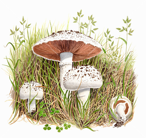 Mushrooms in a meadow