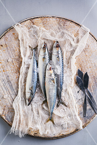 Still life of fresh mackerel