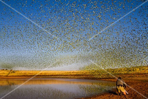 Filming flocking budgerigars