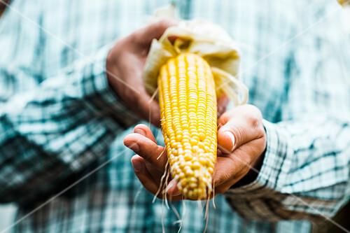 Mann hält frisch geernteten Maiskolben