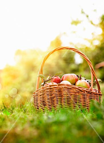 Frisch geerntete Äpfel im Korb auf der Wiese